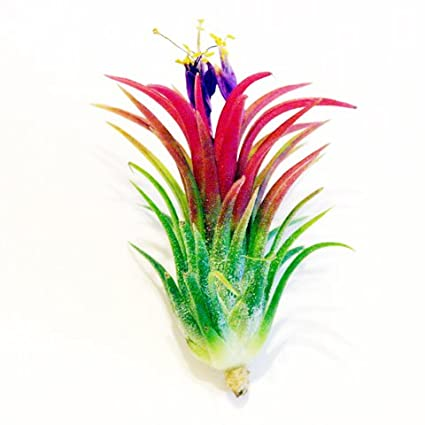 Air Plants - Tillandsia Ionantha Fuego - 5 Exotic Plants