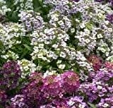 Alyssum - Golf Mixed - 1g Seeds