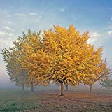 GINKGO BILOBA - Maidenhair Tree - LEAVES ARE USED TO ENHANCE MEMORY - 4 - Year Tree