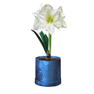 Amaryllis in Blue Foiled Gift Box Planter (Christmas Story)