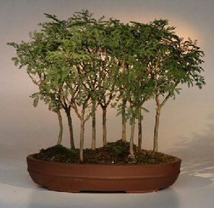 Buy Sweet Acacia Bonsai Tree.9 Tree Forest Group.(acacia farnesiana)