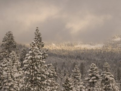 New Fallen Snow on Conifer Trees Reflect Sunlight in the Forest