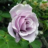 バラ苗 つるスターリングシルバー 国産大苗6号スリット鉢 つるバラ(CL) 返り咲き 紫系