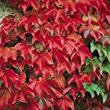 Amazon / Hirts: Vines & Groundcovers: Boston Ivy Plant - Parthenocissus ticuspidata Veitchii - 2.5 Pot