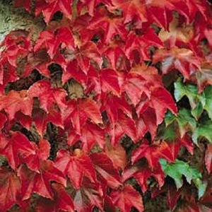 Amazon Com Boston Ivy Plant Parthenocissus Ticuspidata
