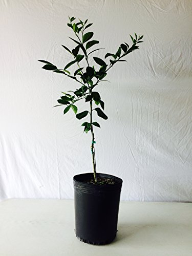 3-4-foot-seedless-valencia-orange-tree-in-growers-pot