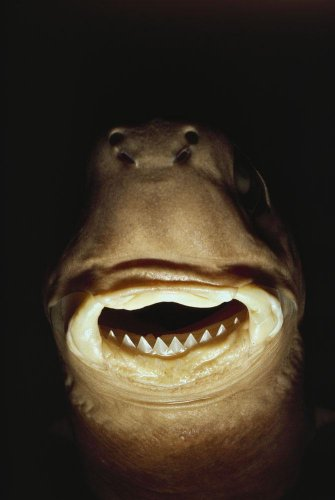 A Close View Of The Mouth Of A Specimen Cookie Cutter Shark Wall Mural - 24 Inches H X 16 Inches W - Peel And Stick Removable Graphic front-784656