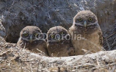 Wallmonkeys Peel and Stick Wall Decals - Baby Burrowing Owls with Funny Expression - 24