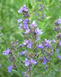 5 Blue Hyssop herb Plants