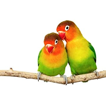 Animal Wall Decals Pair of Lovebirds Agapornis-fischeri Isolated on White - 36 inches x 24 inches - Peel and Stick Removable Graphic coupon codes 2015