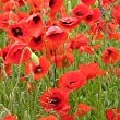Just Seed - Wild Flower - Papaver rhoeas - Red Common Field Poppy - 10000 Seed