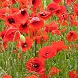 Just-Seed-Wild-Flower-Papaver-rhoeas-Red-Common-Corn-Field-Poppy-20000-Seed