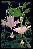 Banana Passion Fruit 10 Seeds-Passiflora mollisima