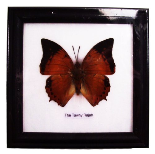 Butterfly Framed the Tawny Rajah Black Frame