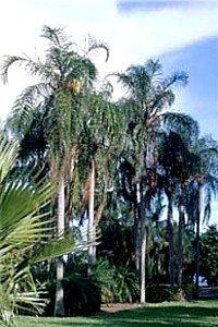 Queens Palm 5 Seeds - Cocos - Syagrus