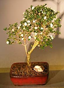 Bonsai Boy's Flowering Snow Rose Serissa Bonsai Tree serissa foetida