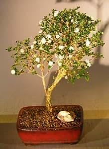 Bonsai Boy's Flowering Snow Rose Serissa Bonsai Tree serissa foetida