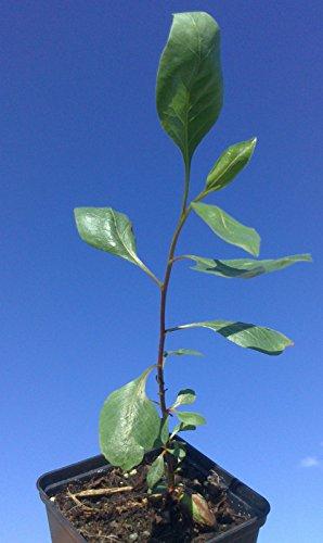 pistachio-nut-tree-pistacia-vera-seedling-plant-evergreen-fruit-tree