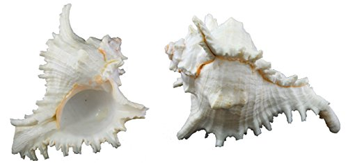 us-shell-1-piece-murex-ramosus-sea-shell-7-to-8-inch-size