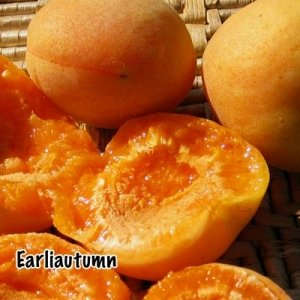 Earli Autumn Apricot--Tree ships about Four Feet Tall, 12 inch container