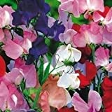 """Sweet Pea Heirloom """"Old Spice"""" (Lathyrus Odoratus}Old Fashioned Mix of Bright Flowers, Heat Tolerant Very Fragrant Old Fashioned Trellis Variety. The Best Sweet Pea for Warm Climates Approx 50 Seeds"""