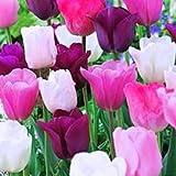 Purple Rain Mix Tulip 20 Bulbs - Lush Violet Hues & White - 12/+ cm Bulbs