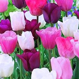 50 Purple Rain Mix Tulip Bulbs - Tulipa Triumph: Super-Sized X-tra Value Bag!