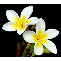 'White' Plumeria Plant - Frangipani - 4