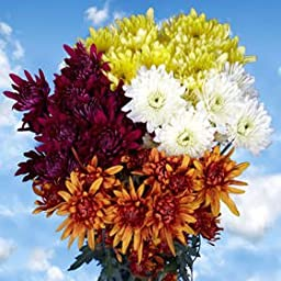 36 Assorted Fresh Cut Chrysanthemums Cushion Flowers | Fresh Flowers Express Delivery | Perfect for Birthdays, Anniversary or any occasion.