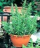 ROSEMARY - Rosmarinus Officinalis - 100 SEEDS