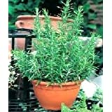 ROSEMARY - Rosmarinus Officinalis - 100 SEEDSby Haddons