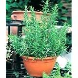 ROSEMARY - Rosmarinus Officinalis - 100 SEEDSby Haddons