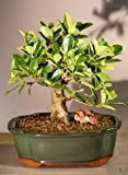 Green Island Ficus Bonsai Tree - Medium (ficus microcarpa)