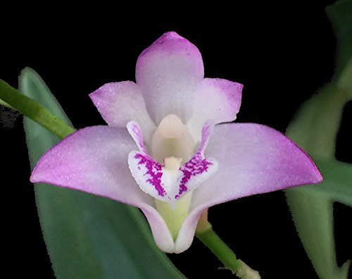 orchid-insanity-dendrobium-kingianum-the-easiest-orchid-on-earth-fragrant-blooms-compact-perfect-for
