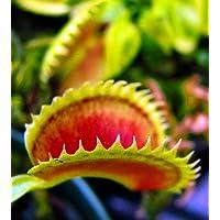 'Dente' Venus Fly Trap Plant - Dionaea - Carnivorous - 3