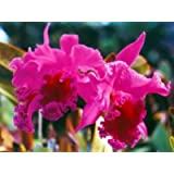 Cattleya Orchid Hawaiian Starter Plant - Approx. 5 - 8 Inches