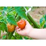 Verger 千葉産 農家の昔ながらのトマト<18玉>【限定50箱】