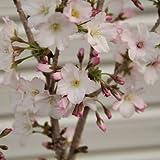 庭木:桜・御殿場桜 根巻き H:約60-70cm