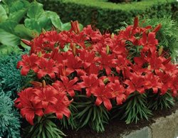 Lily - Border - Red Fall Flower Bulb - Pack of Three