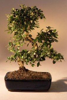 bonsai-boys-fukien-tea-flowering-bonsai-tree-curved-trunk-large-ehretia-microphylla