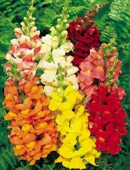 Buy Snapdragon Rocket Hybrid Mix – Park Seed Snapdragon Seeds