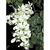 25 Seeds Moringa oleifera Drumstick Tree Seeds