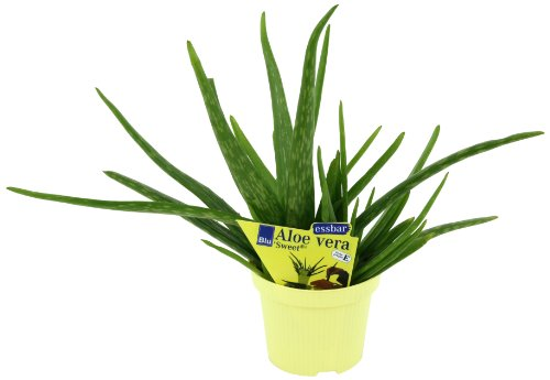 Aloe vera 'Sweet', Aloe vera barbadensis Miller, 2 Pflanzen thumbnail