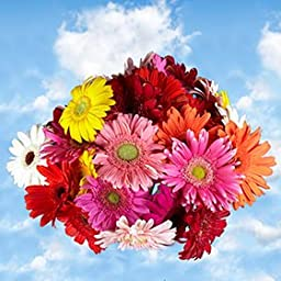 60 Fresh Cut Gerbera Flowers | Fresh Flowers Express Delivery | Perfect for Birthdays, Anniversary or any occasion.