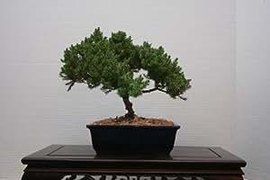 LOU'S BONSAI NURSERY JUNIPER BONSAI TREE IN JAPANESE POT