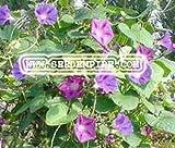 MORNING GLORY MIXED Ipomoea Purpurea --- 100 Flower Seeds