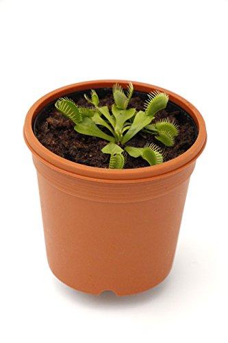 """食虫植物 【ハエトリソウ】 Dionaea Muscipla """"Dentata"""" Y's 2.5寸鉢 (ディオネア マスシプラ """"デンタタ"""")"""