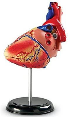 Heart Anatomy Model by Learning Resources