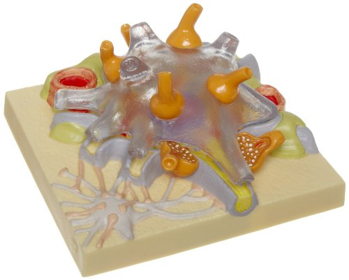 3B Scientific C40/1 Neuron Cell Body Model, 4.8
