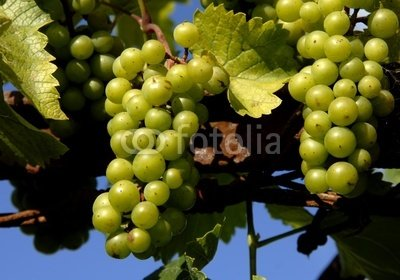 Wallmonkeys Peel and Stick Wall Decals - Some Green Grapes in a Vineyard Detail - 24